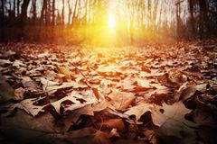 Autumn evening, the land is covered with leaves, through the tre stock image