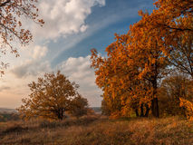An autumn evening is in an oakery. An autumn evening is in an goldy oakery Stock Photos