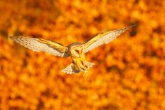 Autumn evening with owl. Landing nice Barn Owl in nice orange light. Autumn forest with beautiful bird. Owl fly, wildlife animal s Stock Photo