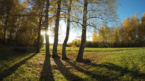 Autumn evening sunshine in birch grove and tree shadows. Timelapse 4K stock video