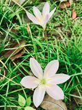 Two barely blooming wildflowers in dead leaves stock photo