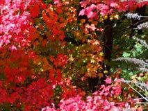 Autumn Explosion - Rode Esdoornbladeren Royalty-vrije Stock Fotografie