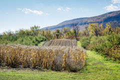Autumn Fade. A scenic cornfield weathers in the sunny autumn near Voorheesville, New York. The northern end of the Catskill Mountains are visible in the Royalty Free Stock Images