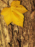 Autumn fall. Yellow leaf on tree background Royalty Free Stock Image