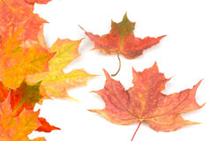 Autumn fall. Autumn leaves red gold brown colours falling to the ground on a white background Royalty Free Stock Images