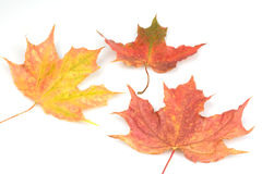 Autumn fall. Autumn leaves red gold brown colours falling to the ground on a white background Royalty Free Stock Photo