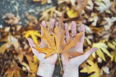 Autumn Fall Background med lönnlöv och handen fotografering för bildbyråer