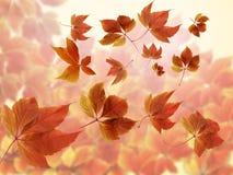 Autumn Fall Background Molto autunno rosso ed arancio variopinto ha offuscato le foglie con i raggi del sole fotografie stock libere da diritti