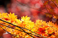 Autumn  fall background. Red leave of maple tree for autumn  fall background Royalty Free Stock Photos