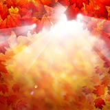 Autumn Fall Background with Red Maple Leaves Royalty Free Stock Images