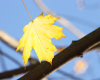 Autumn / Fall Background -  Yellow maple leaf Royalty Free Stock Photo