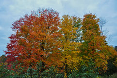 Autumn / Fall color Maple Trees. Autumn Fall color maple trees with blue sky background royalty free stock images