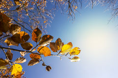 Autumn - Fall Colorful Beech Leaves. With Sun and Blue Sky stock images