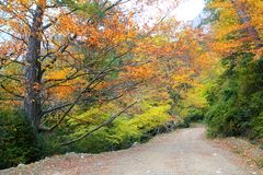 Autumn fall colorful golden beech forest Royalty Free Stock Images