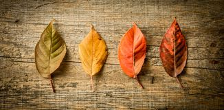 Autumn fall - colorful leaves on wooden background. Autumn fall - four colorful leaves captured from above top view, flat lay. Rustic wooden background Stock Photos