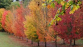 Autumn fall colors leaves from blurred bokeh into clear focused maple trees 1080p stock video footage