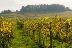 Autumn Fall colours in vineyard at Dorking, Surrey, England Royalty Free Stock Image