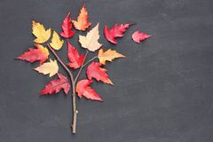 Autumn fall concept. Tatar maple tree Acer tataricum made from twig and yellow red leaves on blackboard background. Flat lay royalty free stock image
