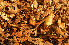 Autumn fall dead leaves. Detail of brown yellow golden dead leaves fallen on the ground in autumn fall season Stock Photos
