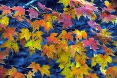 AUTUMN-FALL- feche acima das folhas de bordo coloridas sobre a água azul fotos de stock royalty free