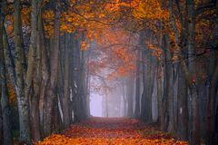 Autumn fall. Foggy morning in the maple forest. Vibrant colors stock photography
