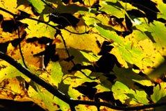 AUTUMN-FALL- folhas vibrantes contra um céu escuro imagens de stock royalty free