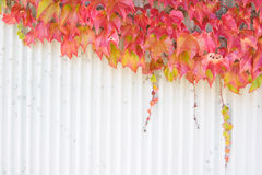 Autumn/fall foliage. Autumn vine leaves growing over a wall, space for copy. Focus is on the leaves royalty free stock photography