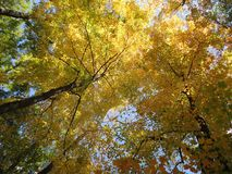 Autumn Fall Foliage Canopy Royalty Free Stock Photo