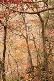 Autumn or fall forest Royalty Free Stock Images
