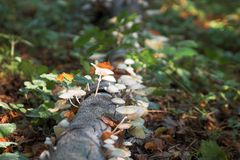 Autumn / fall in the forest. Mushrooms during fall royalty free stock image