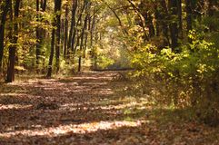 Autumn fall forest Royalty Free Stock Image
