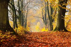 Autumn, fall forest. Path of red leaves towards light. Stock Photo