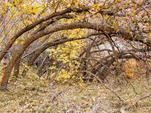 Autumn Fall forest views hiking through trees on the Rose Canyon Yellow Fork and Big Rock Trail in Oquirrh Mountains on the Wasatc. Walking through Autumn Fall stock images