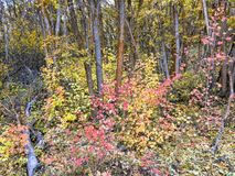 Autumn Fall forest views hiking through trees on the Rose Canyon Yellow Fork and Big Rock Trail in Oquirrh Mountains on the Wasatc. Walking through Autumn Fall royalty free stock photos