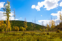 Autumn fall forest with yellow golden poplar trees. Outdoor nature and blue sky Stock Photo