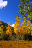 Autumn fall forest with yellow golden poplar trees. Outdoor nature and blue sky Stock Photography