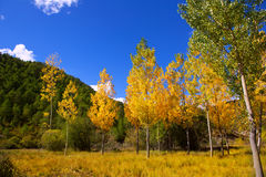 Autumn fall forest with yellow golden poplar trees. Outdoor nature and blue sky stock photos