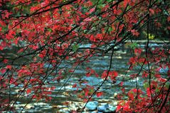 AUTUMN-FALL-, Glieder von Rotahorn-Blättern über blauem Strom lizenzfreie stockbilder