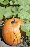 Autumn Fall Halloween Pumpkin Patch Royalty Free Stock Photos