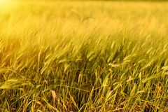 Autumn fall harvest background. Sunny day, wheat yellow gold meadow. Autumn fall field outdoor background. Sunny day harvest, crop happy concept. Wheat yellow royalty free stock image