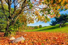 Autumn, fall landscape. Tree with colorful leaves. Autumn, fall landscape with a tree full of colorful, falling leaves, Green hill in the background Stock Photo