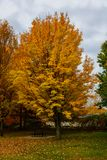Autumn, fall landscape. Tree with colorful leaves. Red fall tree. Autumn, fall landscape with a tree full of colorful, falling leaves, sunny blue sky. Yellow Royalty Free Stock Images