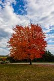 Autumn, fall landscape. Tree with colorful leaves. Red fall tree. Autumn, fall landscape with a tree full of colorful, falling leaves, sunny blue sky. Red autumn Royalty Free Stock Photos