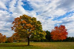 Autumn, fall landscape. Tree with colorful leaves. Autumn, fall landscape with a tree full of colorful, falling leaves, sunny blue sky. Fully red tree on the Royalty Free Stock Images