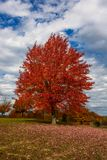 Autumn, fall landscape. Tree with colorful leaves. Red fall tree. Autumn, fall landscape with a tree full of colorful, falling leaves, sunny blue sky. Red autumn Royalty Free Stock Image
