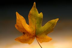 Autumn fall leaf Royalty Free Stock Images