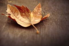 Autumn fall leaf. An artistic background vintage image of a leaf stock images