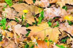 Autumn fall leaf background Royalty Free Stock Photography
