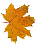 Autumn or fall leaf isolated Royalty Free Stock Photos