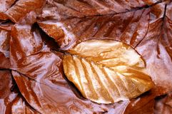 Autumn, fall leaves. Wet brown beech leaves laying on the ground Stock Photo